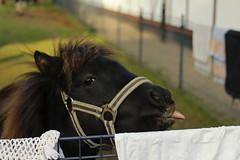 Schneeglckchen (Lulu_Sunset) Tags: horse animals tiere gut pferd shetlandpony foal fohlen dankerode