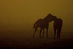 Cuddle Time (Marie.L.Manzor) Tags: travel sunset horses mist france nature silhouette fog backlight sunrise landscape geotagged countryside nikon atmosphere versailles colorfulsunset dramaticskyclouds marielmanzor nikon610 gettyimagecollection httpswwwfacebookcommarielmanzor