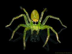 Jelly Green (zxgirl) Tags: green animal animals bug spider spiders arachnid flash bugs arachnids jumpingspider arthropods animalia arthropoda arachnida arthropod onblack araneae salticid jumpingspiders salticidae dcr250 raynox chelicerata araneomorphae lyssomanes img3712 lyssomanesviridis magnoliagreenjumper chelicerate img3709 img3713 entelegynes chelicerates arachtober sx30 taxonomy:binomial=lyssomanesviridis lyssomaninae translucentgreenjumper translucentgreenjumpers arachtober2015