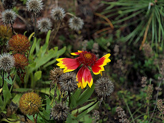 0008460    (Explore 10-08-2014) (Shakies Buddy) Tags: autumn canada fall garden seed nb explore gaillardia blanketflower 7000views ©allrightsreserved nbphoto repeatbloomer