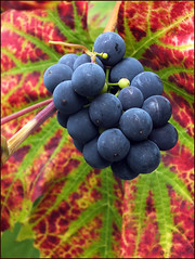 Fruit of the Vine (jo92photos) Tags: autumn black macro garden season fuji vibrant seasonal harvest vine autumncolours crop grapes bunch week40 bunchofgrapes ©allrightsreserved myfuji jo92photos hs20exr