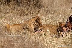 DSC_3898 (Arno Meintjes Wildlife) Tags: africa southafrica feeding wildlife lion safari bigcat cubs predator big5 pantheraleo arnomeintjes