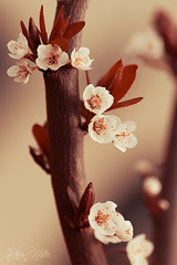 """""""I wanna see how it ends"""" (.vermilion) Tags: macro nature spring flora warm natural blossom natur blossoms plum bloom makro blte frhling plumblossom plumblossoms inbloom canonef100mmf28macrousm pflaumenblte zierpflaume canoneos50d macroart"""