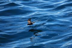 Elliot's Storm Petrel (Prairie_Wolf) Tags: bird nature birds ecuador wildlife avian travelphotography galapagosislands elliotsstormpetrel oceanitesgracilis rachelmackayphotography
