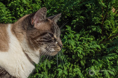 Maya prend la pose (raphael.labourel) Tags: pets cat chat maya animaux
