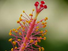P1110843 - Hibiskusstengel (JB Fotofan) Tags: macro lumix hibiscus blume makro blte hibiskus stengel japongl fz150 lumixfz150