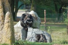 Chimpansee (Jan van den Berg) Tags: safaripark beeksebergen hilvarenbeek
