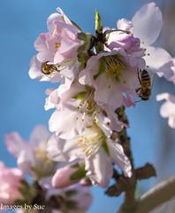 DSC_5918.jpg (susanm53@verizon.net) Tags: blossoms tuolumneriver bee almond