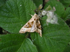 ANGLE SHADES MOTH ON BRAMBLE BY STORAGE COMPOUND 17-06-2015 PEH DSCN7969 (Coventry City Council) Tags: coombecountrypark coombeabbey coventry