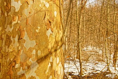 Blend In (thetrick113) Tags: photograph sycamore platanusoccidentalis hudsonvalley dutchesscountynewyork fishkillnewyork hudsonhighlands tree forest woods woodland camo snow winter2017 2017 winter hardwood hardwoodforest dicot deciduous dormant sonyslta65v hdr hudsonrivervalley hike