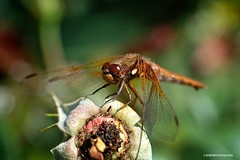 Dragonfly (JSB PHOTOGRAPHS) Tags: dsc614100001 copy dragonfly bokehlicious bokeh owenmemorialrosegarden nikon owenrosegarden eugeneoregon d70s macro 60mm bug rose flower