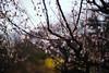 Sanrokugama : Plum Blossoms (Nazra Z.) Tags: plumblossoms bizen okayama japan 2017 raw spring park vscofilm