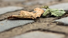 Low Down Leaves  3/12 Point of View (POV) (II) (Blues Views) Tags: collective52photoproject canon600d canon50mmf14 leaves leaf cobbles pointofview pov bokeh sidewalk outdoors autumn fall urbannature nature