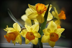 from the garden - explored (quietpurplehaze07) Tags: daffodils yellow bunch vase orange