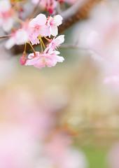 サクラ (Junpei♪) Tags: 桜 権現堂 flower cherryblossoms nikon d7100 河津桜