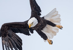 IMG_5880 Bald Eagle (Wallace River) Tags: aboiteau baldeagle bito icefishing wallacebay