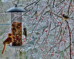 FIGHTING FOR FEEDER TIME (JAMES F BURNS) Tags: we did do everything every could can keep our little friends fed feed food multiple many feeders pretty much take ticket seat fujifinepix sx1 digital camera ice storm blizzard winter snow freeze freezing cold james f burns birdsoftheworld birdsofamerica birdsoftheunitedstates birds