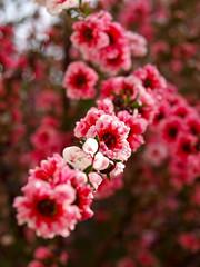 Spring in full bloom (goodbyetrouble) Tags: spring frühling napier nz new zealand neuseeland bloom blüte blüten blossom rosa nature natur colorful garden garten