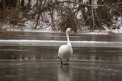"The Swan. Chapter 1: ""Incoming"" (modestmoze) Tags: nature animal bird white orange grey brown green black lithuania 2017 500px river water ice cold winter february reflection one middle coming walking hill trees naturephotograph naturelove travel explore outside outdoors out view flowing running story"