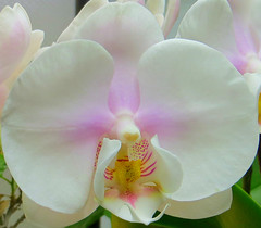 Phalaenopsis Orchid 28 March 2017 3944Ri (edgarandron - Busy!) Tags: plants flower flowers orchid orchids phalaenopsis coth5