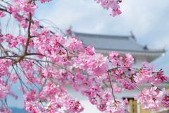 Cherry blossoms and castle (sonica@2006) Tags: cherry blossoms castle this time in japan you can see something like yamanashi kofu sakura bokeh xm1 xf35mm fujinon fujifilm platinumheartaward