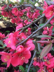Ornamental Quince (Bury Gardener) Tags: flower flowers quic quince red plant garden gardens