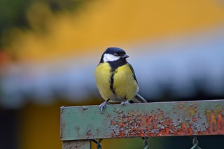 #Rust  #FlickrFriday  Great tit on a rusty fence. HFF