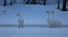 Swans on ice (Marja-Ellen Torvinen) Tags: suomi finland lappi lapland lappland lumi luonto luonnonsuojelu lintu laulujoutsen whopper swan swans joutsen arctic arcticcircle naturepic naturephoto nature naturepicture naturelovers wilderness winter wintry winterwonderland water white river lake bird birds snow spring kevät outdoors animal conservation cold frost frozen ice forest metsä stream migratory vernal sun sunset