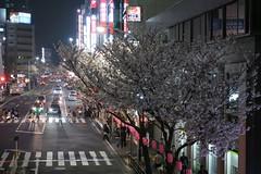 IMG_0518 (digitalbear) Tags: canon powershot g9x markii mark2 nakano dori sakura cherry blossom blooming fullbloom tokyo japan yozakura hanami