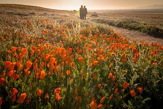 Good Morning Poppies