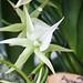 Angraecum Crestwood
