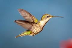 Hummer in Elkton, Florida USA (JK's Photographs) Tags: hummer hummers humming bird fowl flight beautiful pretty aggressive canon eos 7d mark ii ef70200mm f28l is usm 2x iii noisy