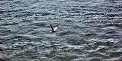 Seagull (sajan-164) Tags: seagull water padmariver ferry aricha dhaka bangladesh sajan164 outdoor ripples reflections