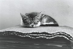 Savannah on a bed of placemats (rootcrop54) Tags: savannah fosterkitten baby female patchtabby sleeping napping placemats tiny kitten scannedfromanalogprint macska kedi 猫 kočka kissa γάτα köttur kucing gatto 고양이 kaķis katė katt katzen kot кошка mačka maček kitteh chat ネコ