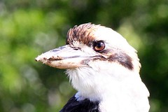 Kookaburra (Gillian Everett) Tags: kookaburra queensland australia native bird