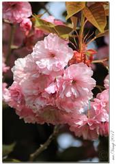 Frühling in Garten (Mr.Vamp) Tags: frühling spring mrvamp mrvampvamp vamp blühen blüten