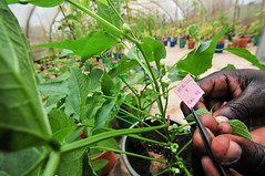 Safeguarding Africa's beans: CIAT's Kawanda genebank and research station