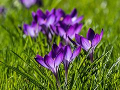 9000 Purple Crocus (Maria-H) Tags: purple crocus bramallpark stockport cheshire uk olympus omdem1markii panasonic 100400 bramhall england unitedkingdom gb