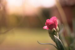 Sony a7 50mm (Jasrmcf) Tags: ilce7 sel50f18f sonya7 sony sonyalpha macro macros macrotube detail depthoffield dof smooth blur vintage pink flowers flower 50mm ngc greatphotographers petals garden nature dreamy bokeh bokehlicious bokehgraph