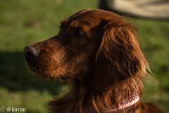 The Lovely Ruby (Explored!) (sharongellyroo) Tags: dogs glemsford suffolk ruby redsetter aceagility inexplore