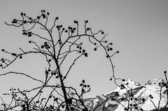 Eglantier exubérant (exuberant brier) (Larch) Tags: noiretblanc blackwhite monochrome montagne mountain alpes alps valdaoste italie italia italy rosiersauvage églantier exubérance nb bw lumière light neige snow silhouette brier dogrose