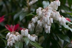Pieris (Deborah S-C - In The Fairy Garden) Tags: flowers flora floral pieris shrub inthefairygarden fairygardenflowers white foliage green red leaves newgrowth spring springtime