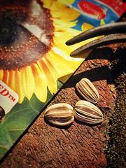 Seeding Time (larrykitzman) Tags: inexplore macrotuesday seed macromonday grow spring earth plant garden