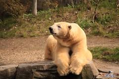 Erlebniszoo Hannver 15.04.2017 077 (Fruehlingsstern) Tags: eisbären polarbear sprinter melana elefanten seelöwen weiskopfseeadler yukonbay erlebniszoohannover hannover canoneos750 tamron16300 zoo