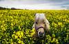 Shetland at Play 2 (ianpaterson1) Tags: shetland pony horse horselove northumberland equestrian backworth north east