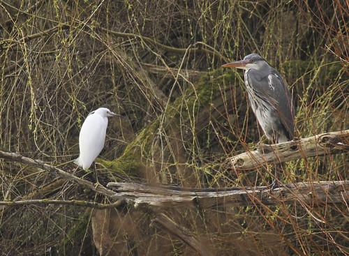 Little Egret & Grey Heron