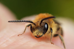 A cute male miner bee #4 (Lord V) Tags: macro bug insect bee minerbee andrena