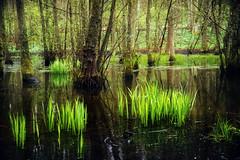 Sumpf (Rainer Schund) Tags: sumpf natur nikon nature nikond4 regen wasser hainich natureexploring gras grün wald waste water moos moor