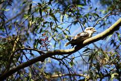 1 Kookaburra (Bl. Mtns. girl) Tags: kookaburra