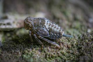 Larve der Käferzikade (Issus cf. coleoptratus)